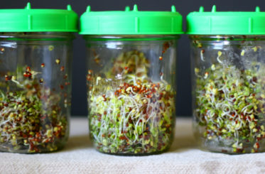 glass jars filled with broccoli sprouts